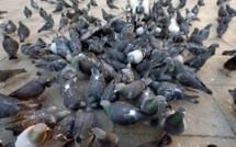 Interdiction de nourrir les pigeons pour lutter contre leur prolifération